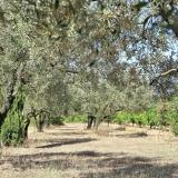Les oliviers qui entourent les gîtes